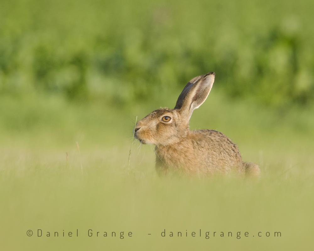 Brown-Hare.jpg