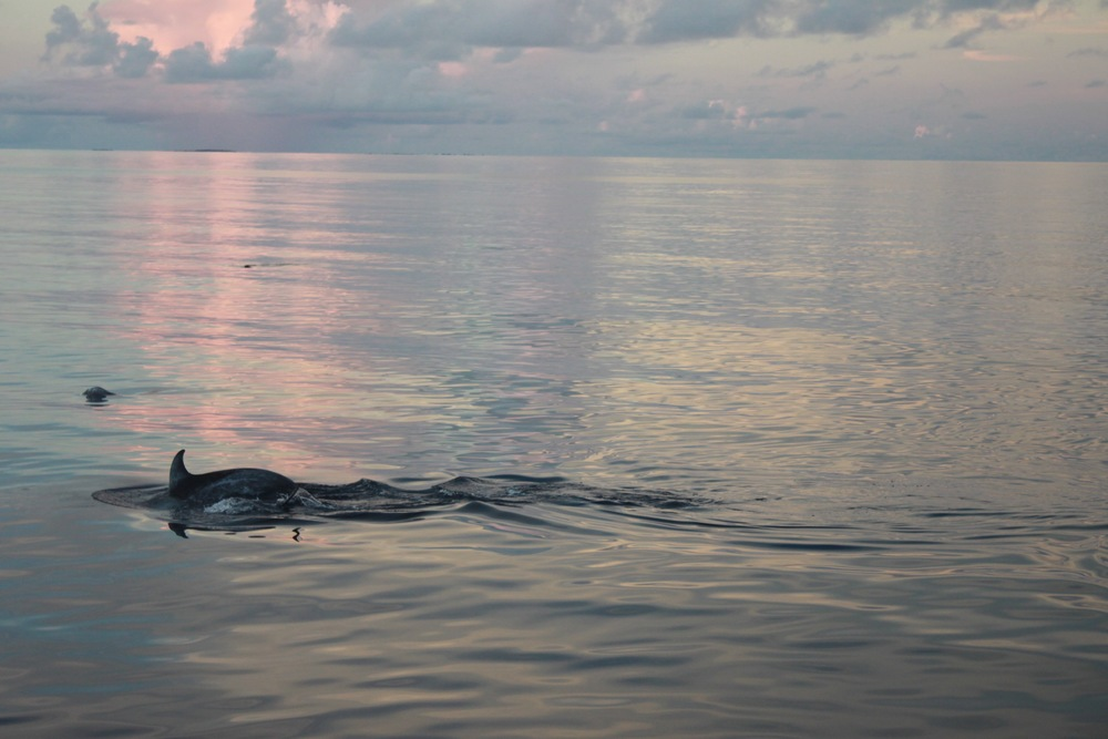 wild dolphins during sunset
