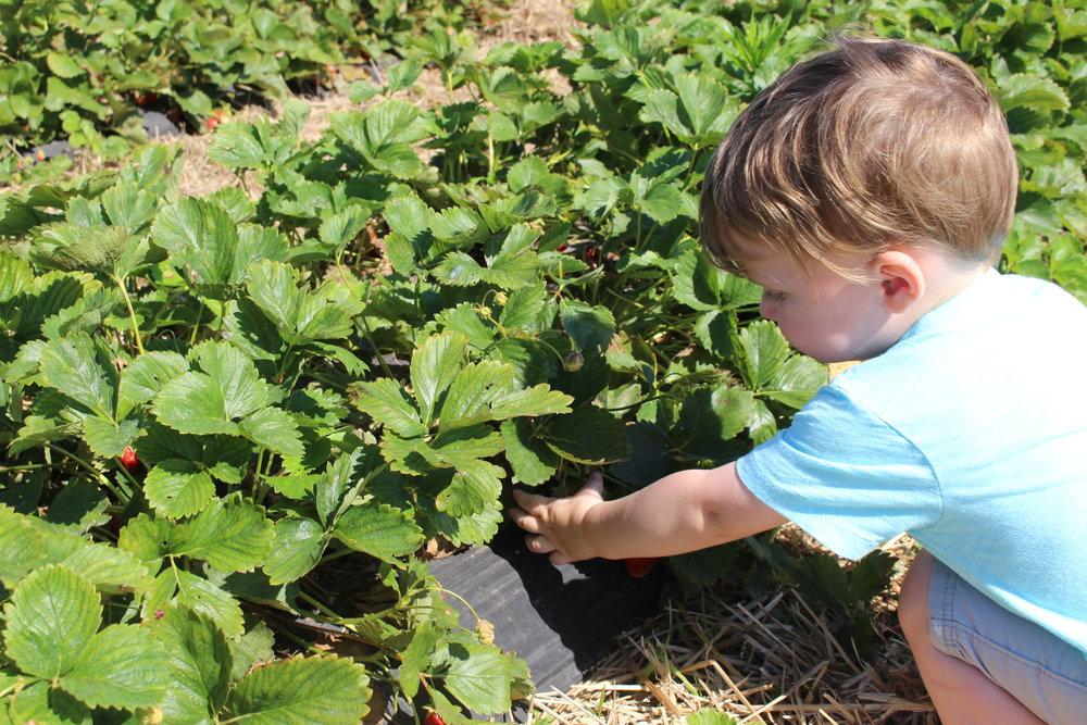 strawberry picking columbus