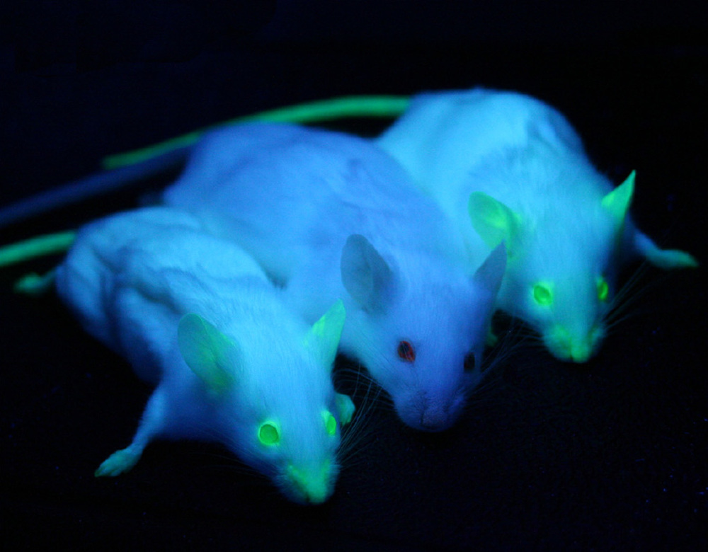 "Green fluorescent protein was identified in the jellyfish (see left: Aequorea victoria) and added to the genome of these mice. Middle animal is a ""wildtype"", meaning an animal with unmodified DNA."