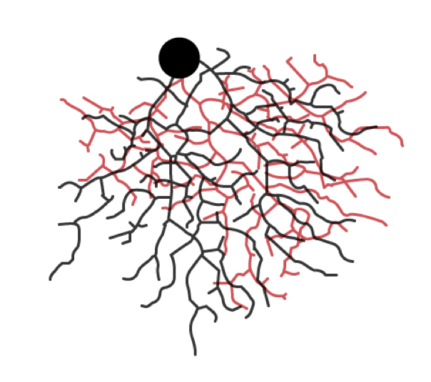 Figure 4: Tracing of a confocal micrograph of a direction selective ganglion cell. Red and black processes are used to indicate which dendrites receive On and Off inputs.