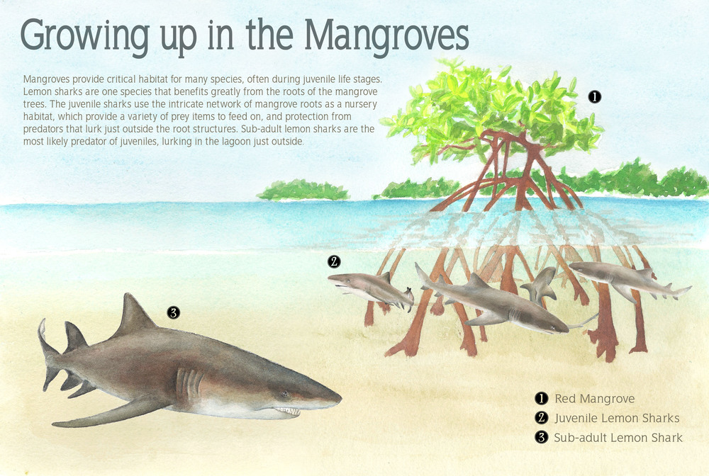 lemon shark interpretive panel.jpg