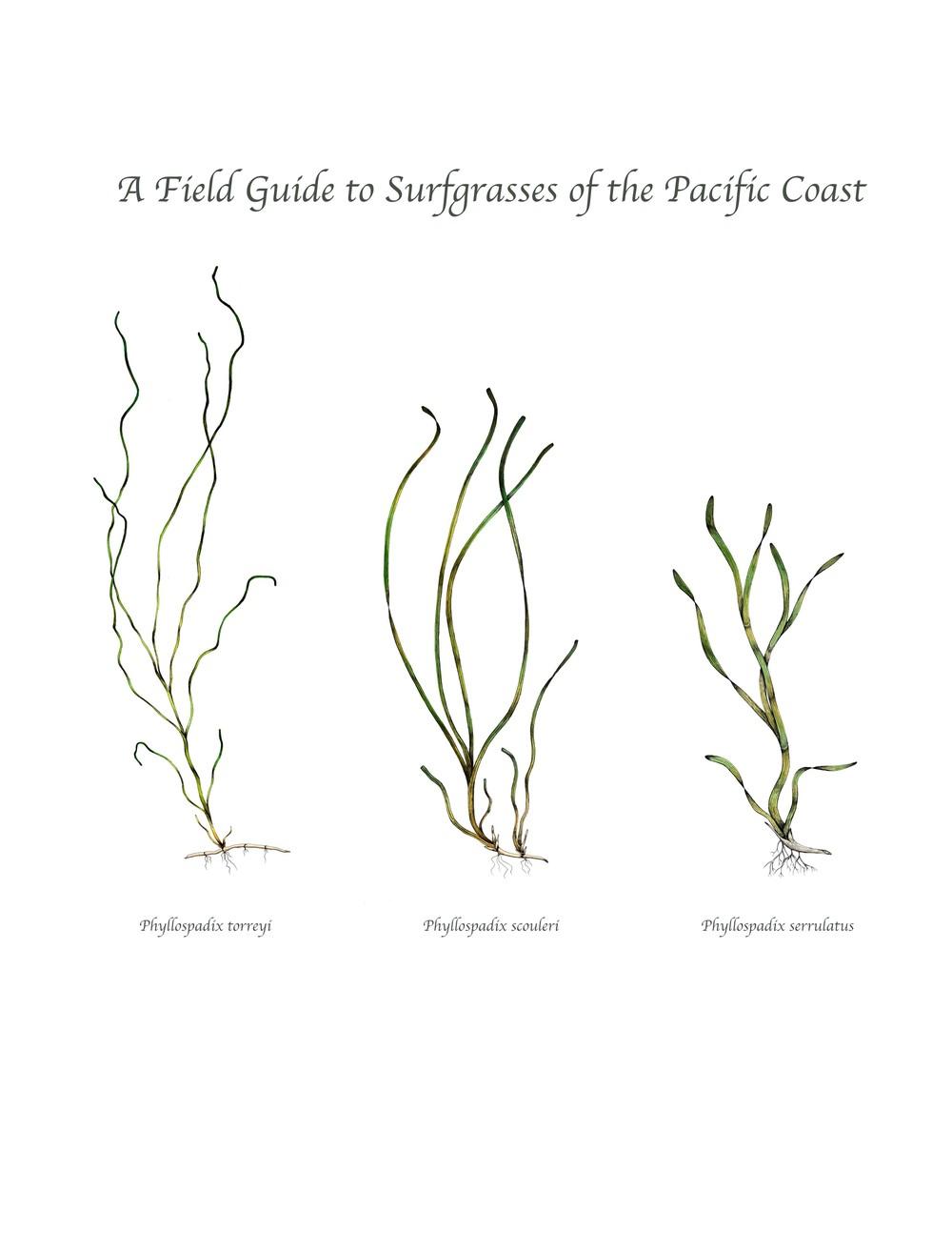 surfgrasses.jpg