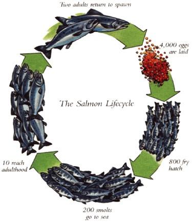 salmon_lifecycle_illustration_full.jpg