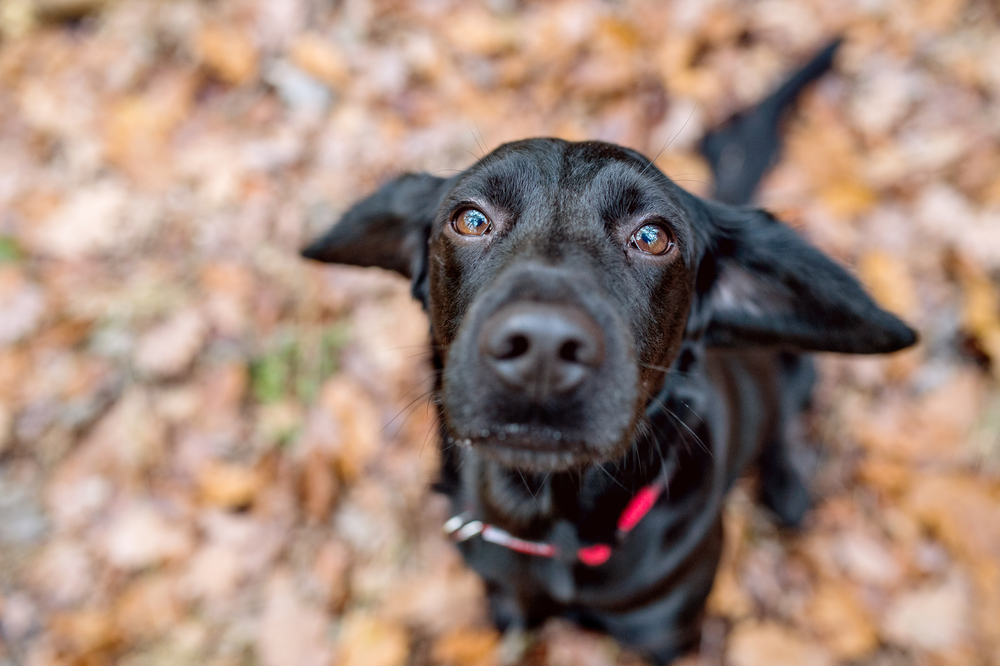 graphicstock-close-up-of-black-dog-with-red-collar-outside-in-sunny-autumn-forest_rdkU7YBM-.png