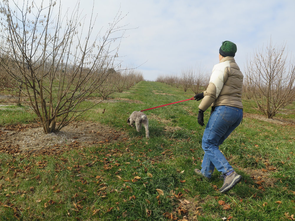 Monza and her trainer, Lois Martin of Truffle Dog Company, hunted for the underground fungi at Margaret Townsend's orchard in Holland, Ky., in December.