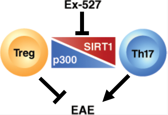 SIRT1 in Treg/Th17 Cell Balance