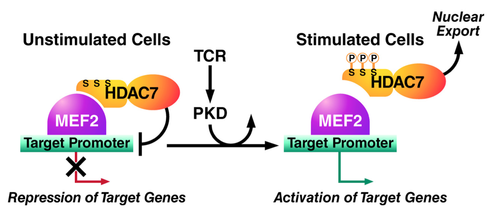 HDAC7 Activity is Controlled Via N-Terminal Phosphorylation