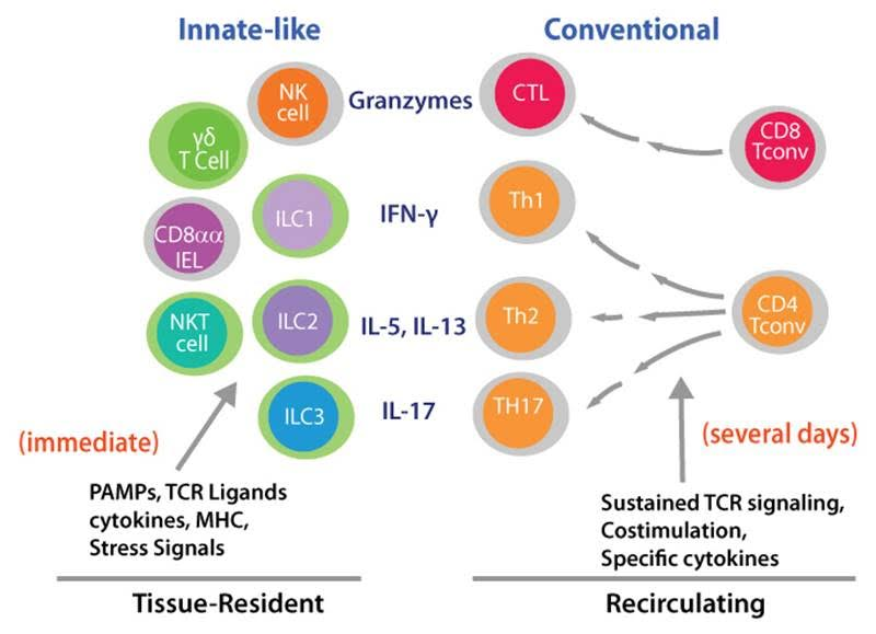 Comparison of Conventional (Naive) and Innate Effector T-Cells