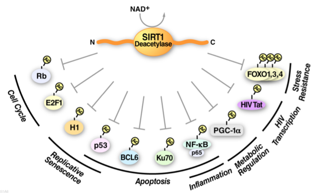SIRT1 deacetylates numerous target transcription factors