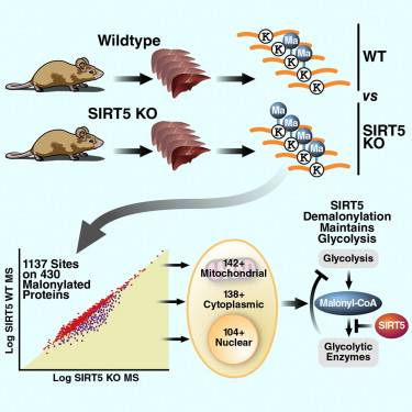 Molecular Cell — SIRT5 Regulates both Cytosolic and Mitochondrial Protein Malonylation with Glycolysis as a Major Target