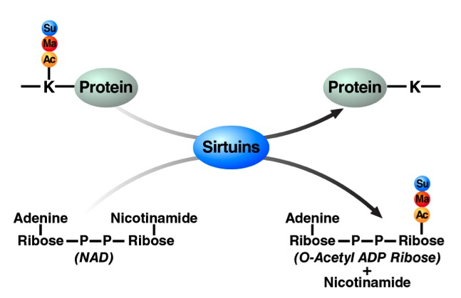 Sirtuins Are NAD+-dependent Protein Deacylases     Su: Succinylation, Ma: Malonylation, Ac: Acetylation