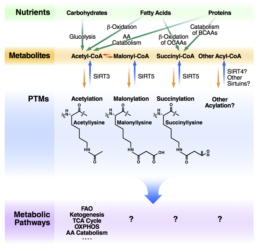 Mitochondrial Sirtuins in Metabolic Regulation