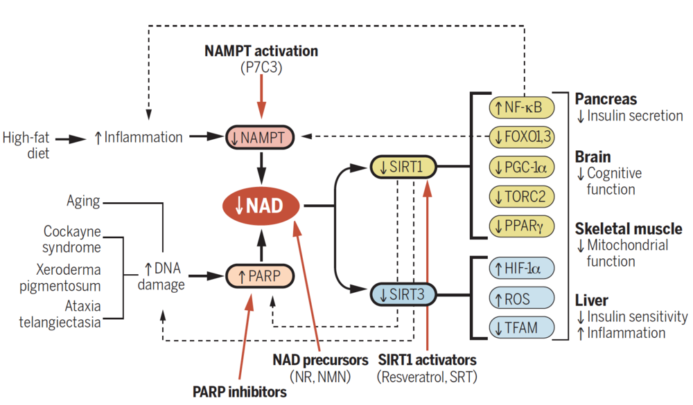 A model for DNA damage, inflammation, NAD+, and aging