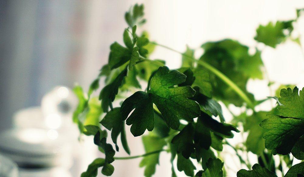 blur-cilantro-close-up-1275204.jpg