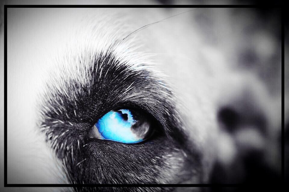 Catahoula eyes