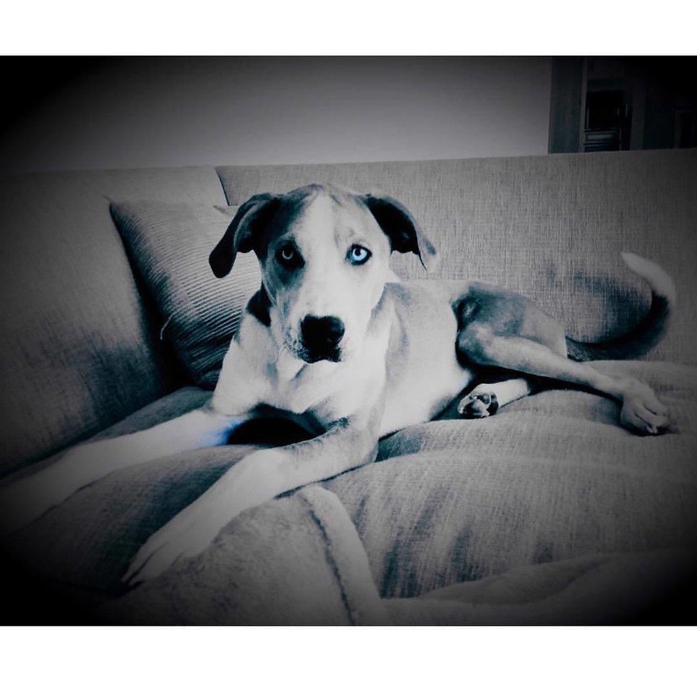 I is Rufus, a catahoula leopard hound from a dumpster; but you can also call me blue Steele - I'm used to it #catahoulaleoparddog