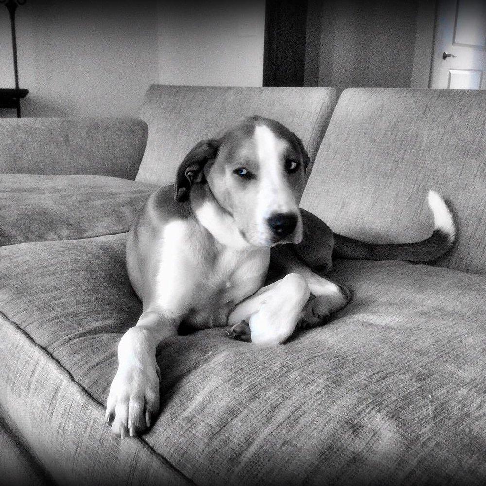 Side eye/bitch face. Rufus. #rufus #catahoulaleoparddog #rescuedog #hounddog