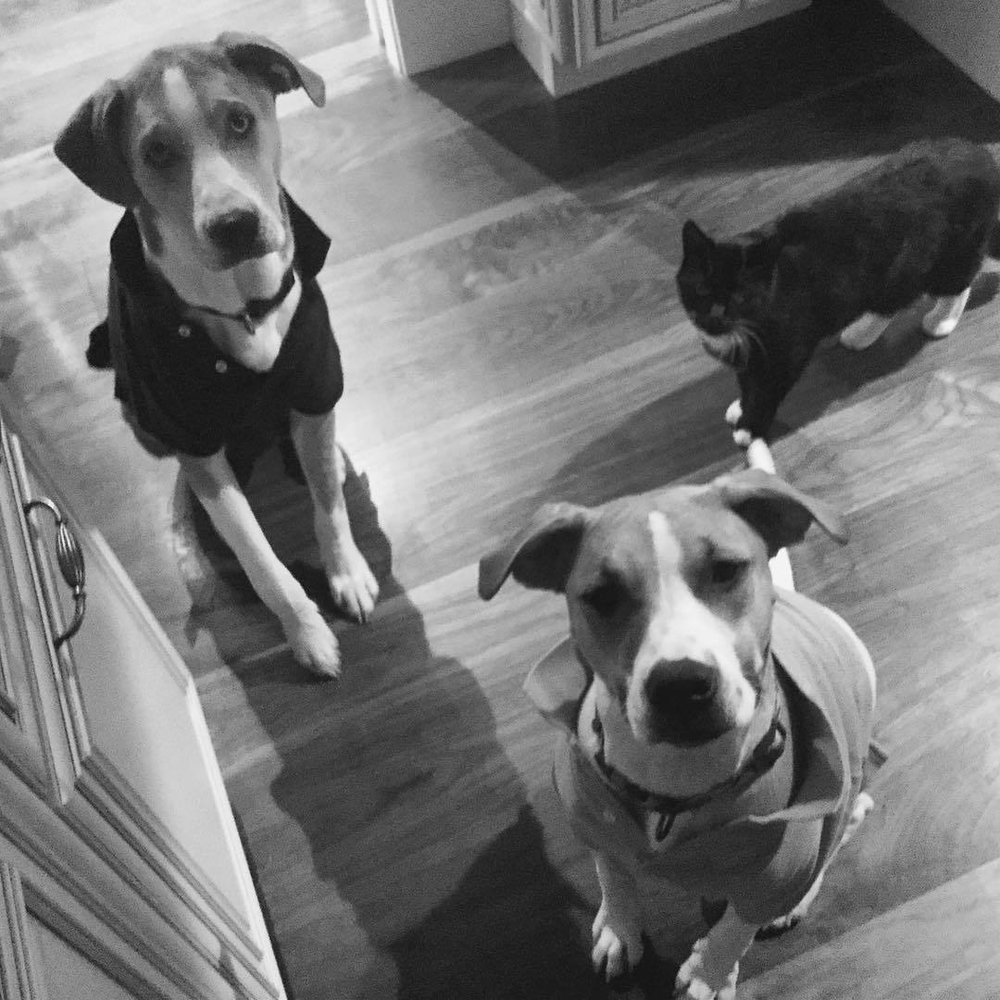 These three take herding to a whole new level. Cornered in the pantry. #blackandwhite #sadie #rufus
