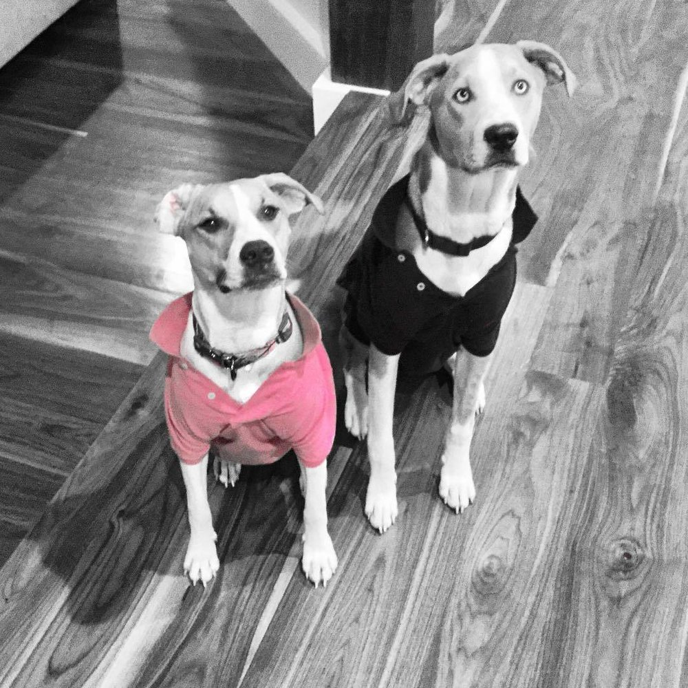 Ms. Sadie likes pink. Rufus likes Will and Grace. Teenagers are tough. They also are #catahoulaleoparddog #rescuepups #sadie #rufus