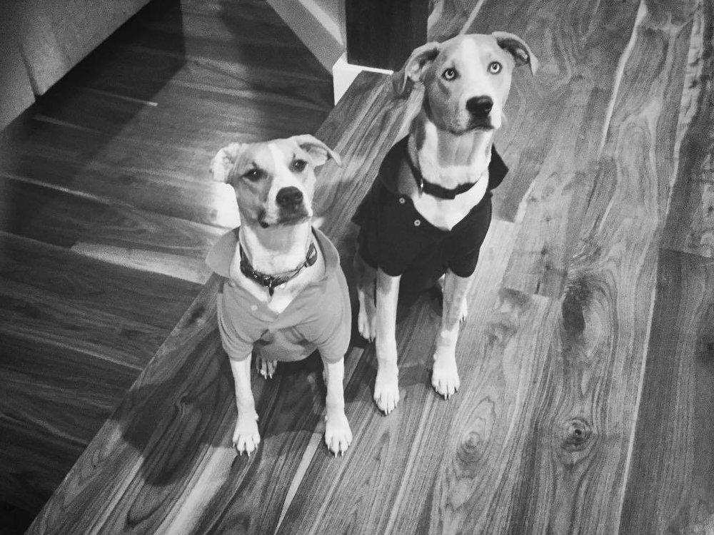 Synchronized con-artists. #catahoulaleoparddog #beagle #dumpsterpuppies #rescuepups #herlacosteispink #woeisme #nope