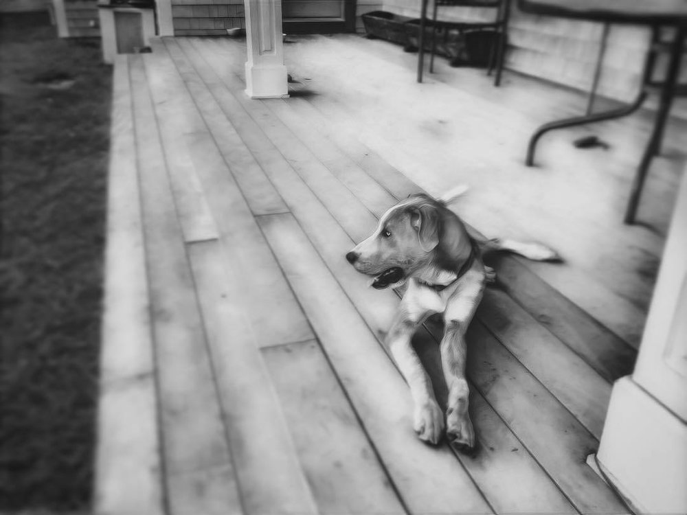 Derp. #rufusgeorge #rufus #catahoula #catahoulaleoparddog #hound #blackandwhitephotography