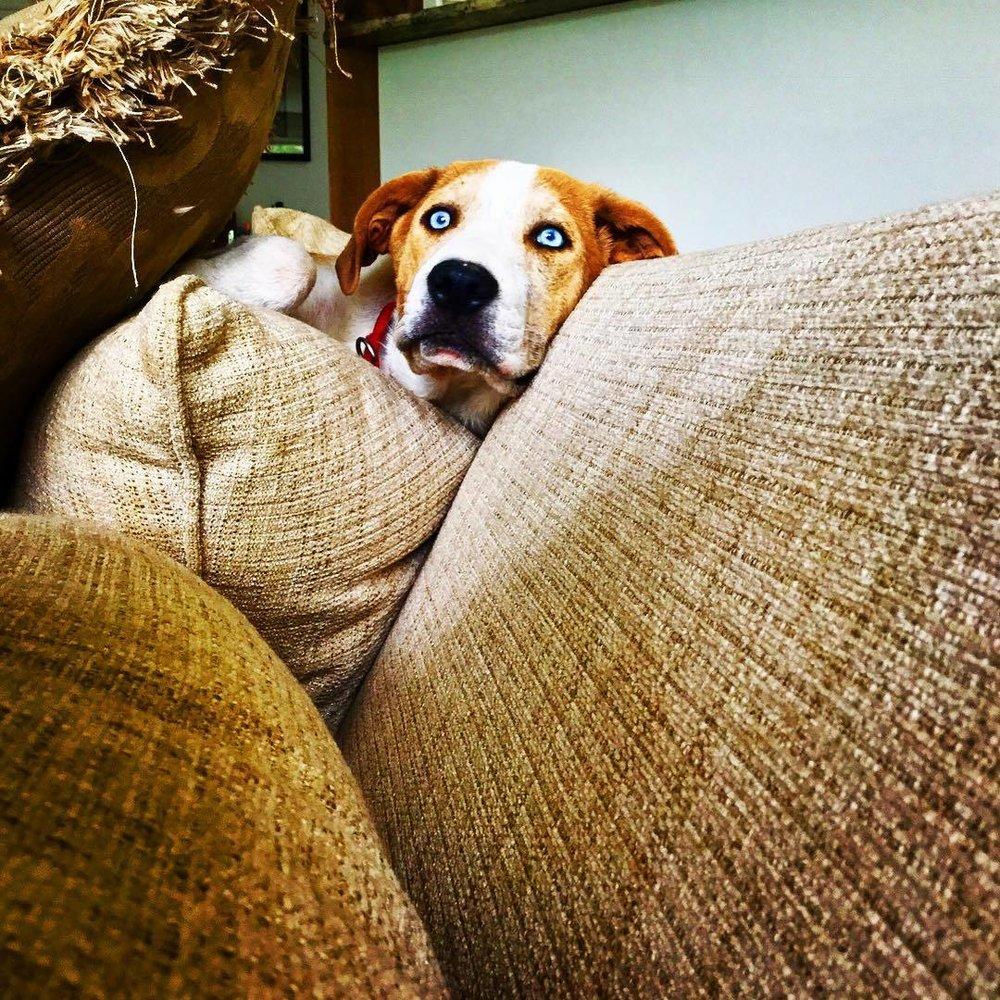 Rufus watching anything political. #catahoulaleoparddog #rufus #catahoula #notonlyhumansareworried