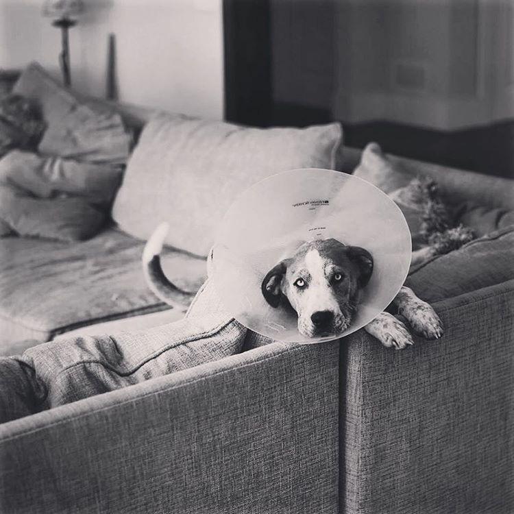 #conehead #elizabethancollar #mydogismoreShakespeareThanYourSecondgrader #blackandwhite #rufus #leopardcur #hounddog #dumpsterpuppygold