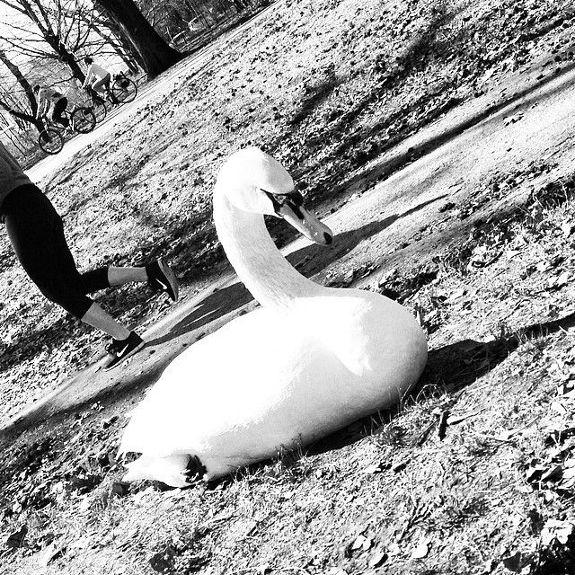 Dreezy the obvious swan in prospect park with @sines. #blackandwhite #paintedbylight #prospectpark #makingup #badbikebaby (at prospect park, brooklyn)