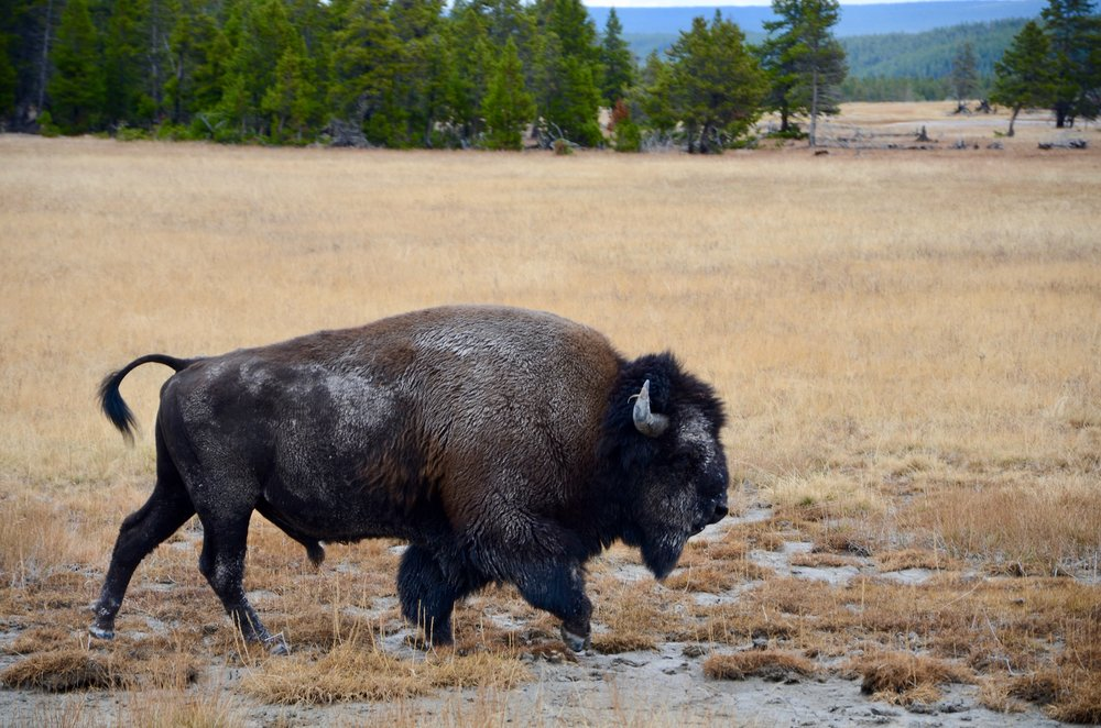 Bison (they were everywhere!)