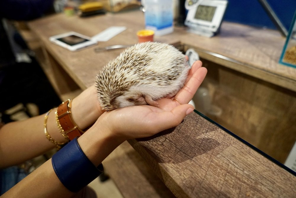 Sleepy in my hands : ) felt kinda mean disturbing them during the day in their sleep (hedgehogs are nocturnal)...