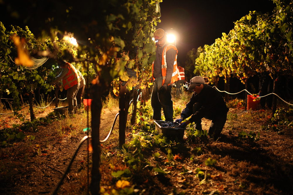 Hand harvesting in the cold of the night is best for the fruit. These grapes arrived at the winery cold, fresh and in pristine condition .
