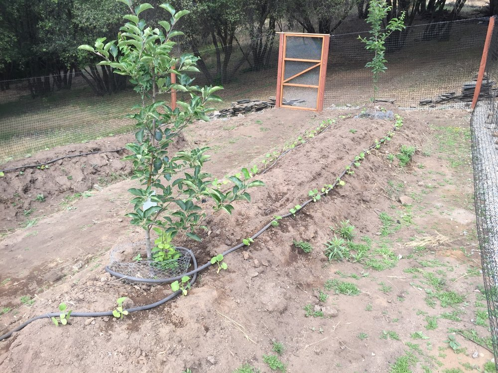 Squash plants on Hugel #1
