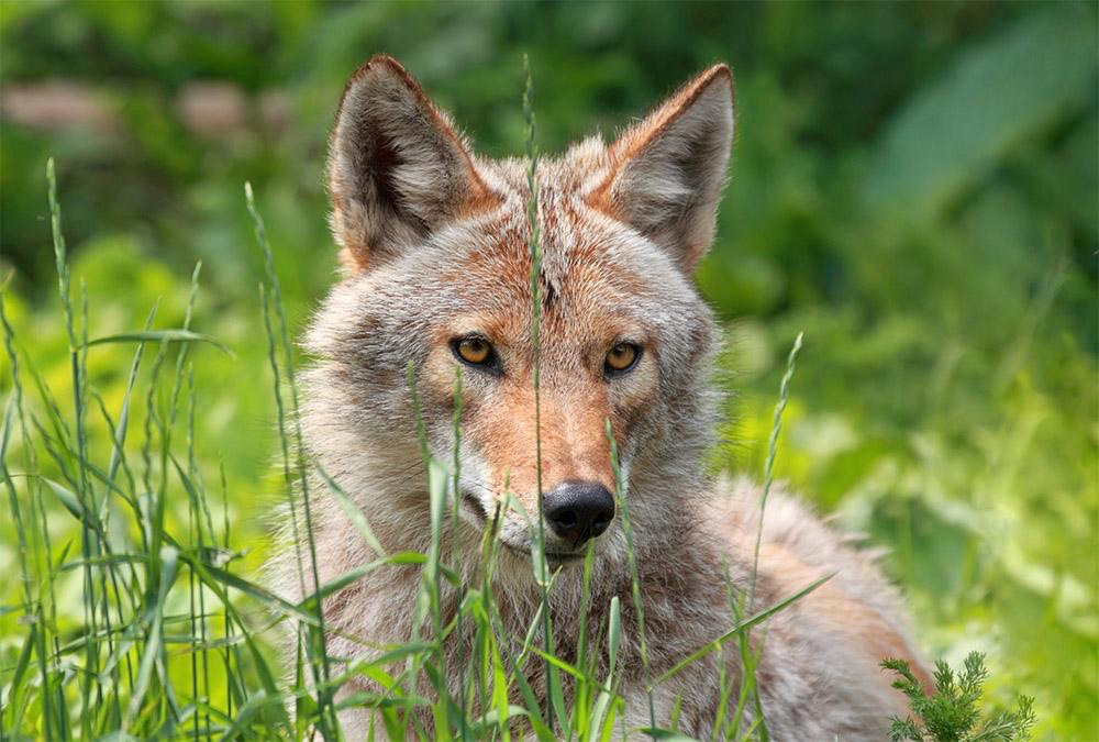 Coyote - Canis latrans have been seen multiple times and evidence of them on the property  is widespread.