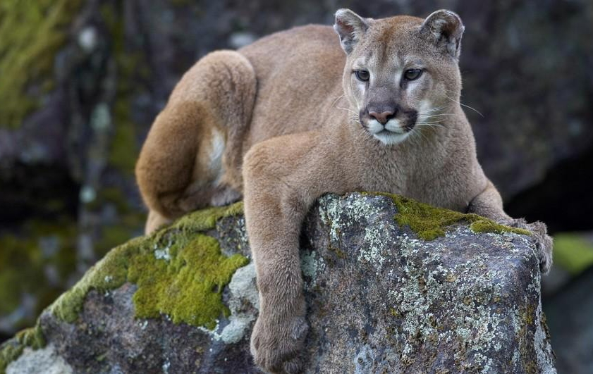 Mountain Lion - Felis concolor. We have only seen evidence in the way of tracks. Mountain Lions are notoriously difficult to spot. They tend to follow the deer.