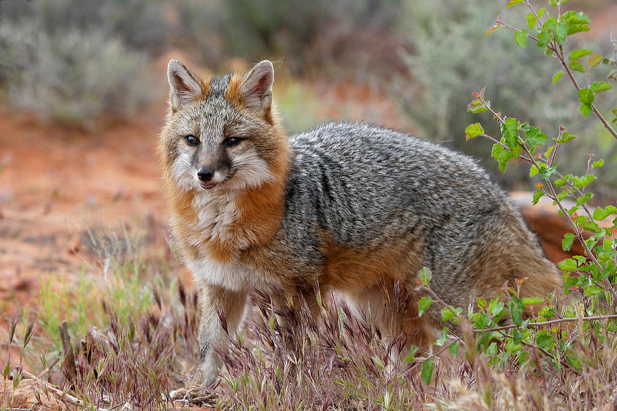 Grey Fox - Urocyon cinereoargenteus. We have seen the Grey Fox only twice near our property. Once crossing Harris road and another time crossing CA49 both times at night. Image by Dewain Maney