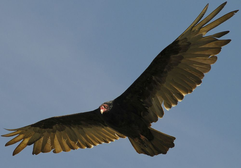 Turkey Vulture - Carthartes aura. These birds are often seen gliding over the property looking for carrion.