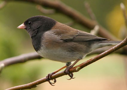 Dark-eyed Junco - Junco hyemalis; A frequent visitor to our bird feeders out front. Image by NestWatch