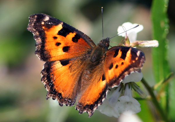 California Tortoiseshell - Nymphalis californica - The browns and grays of the wing underside make it resemble a dead leaf when the wings are closed