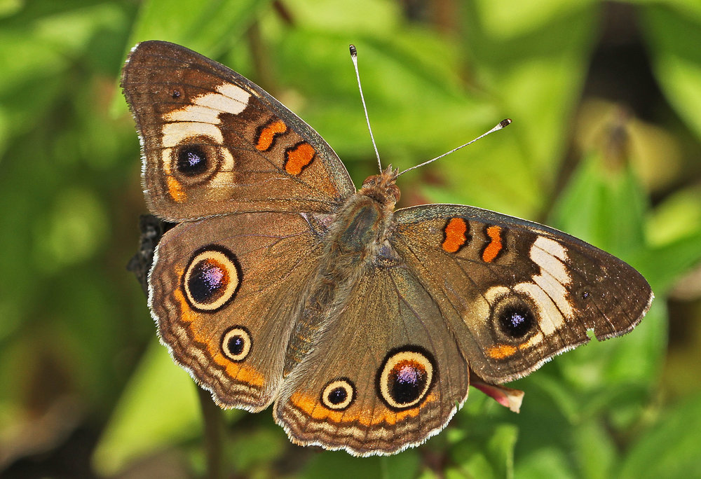 Common Buckeye - Junonia coenia - Found May through October and sightings are rare on our property