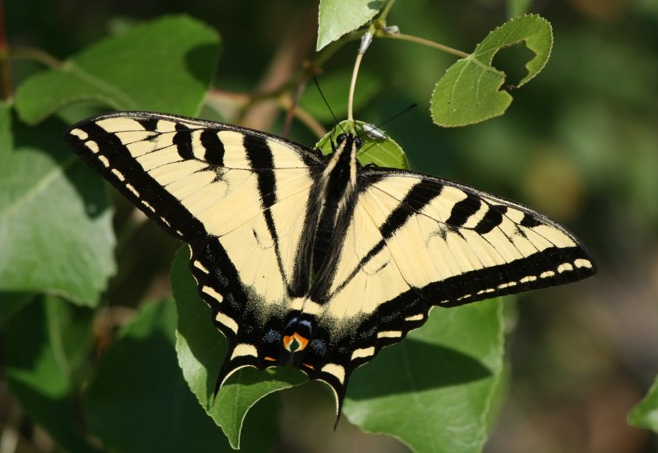 Western Tiger Swallowtail - Papilio rutulus - Active and brightly colored, this butterfly when seen is generally not resting.