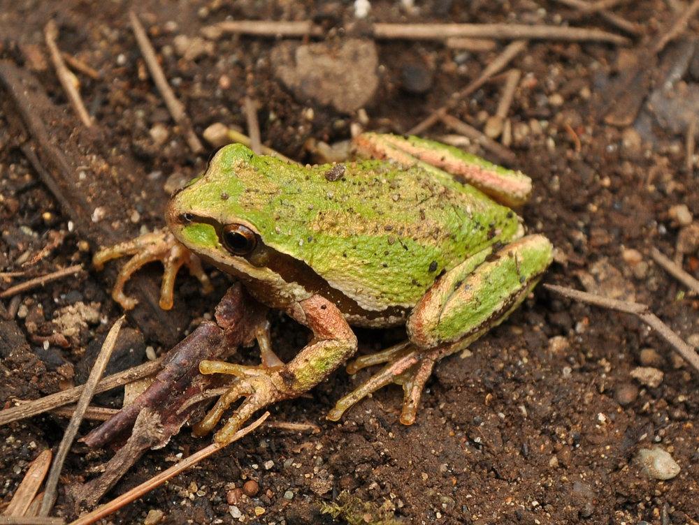 Pacific Chorus Frog.jpg