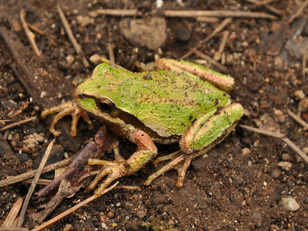 Pacific Chorus Frog - Peudarcris regilla - Their loud call