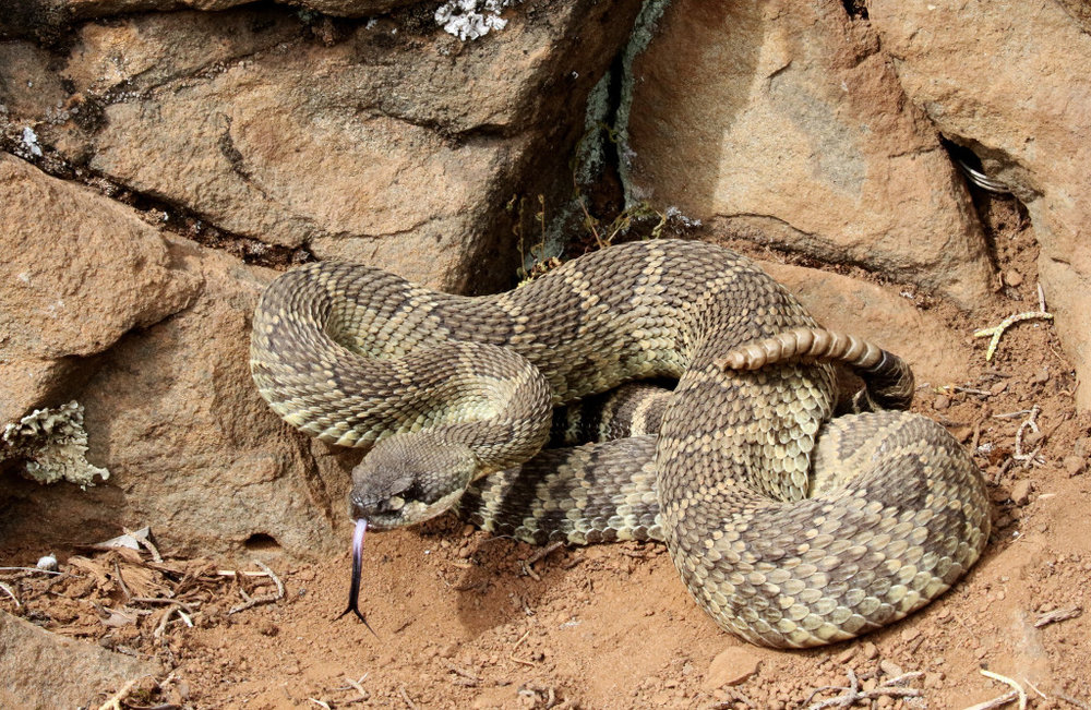 Northern Pacific Rattlesnake - Crotalus oreganus oreganus - They are on our property and in Yosemite National Park but we have yet to encounter one. If you do please give them a wide berth as they are venomous and dangerous.