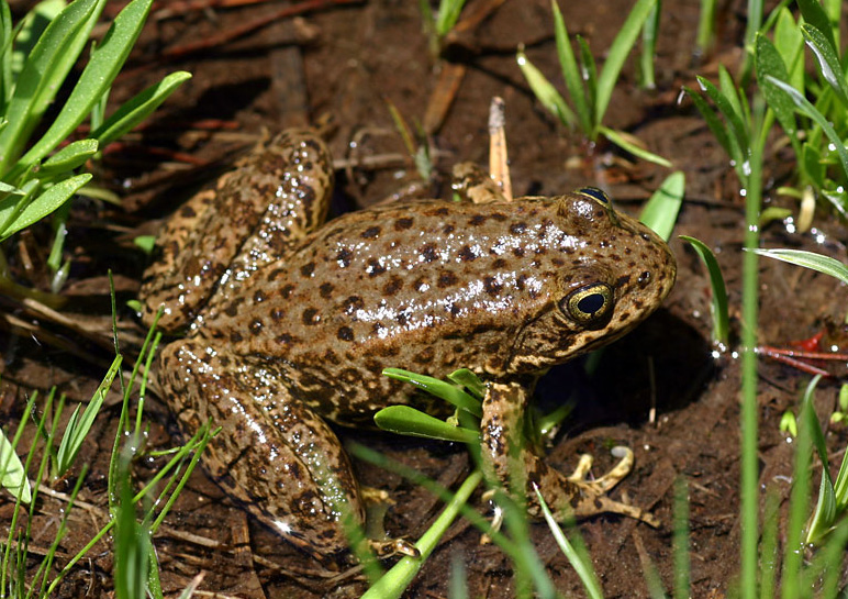 Mountain Yellow-legged Frog - Rana muscosa; They have raspy call that rises at the end. Image by Gary Nafis