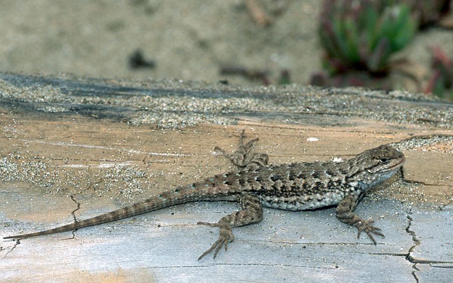 Sierra Fence Lizard - Sceloporus occidentalis taylori; Image by Gary Nafis