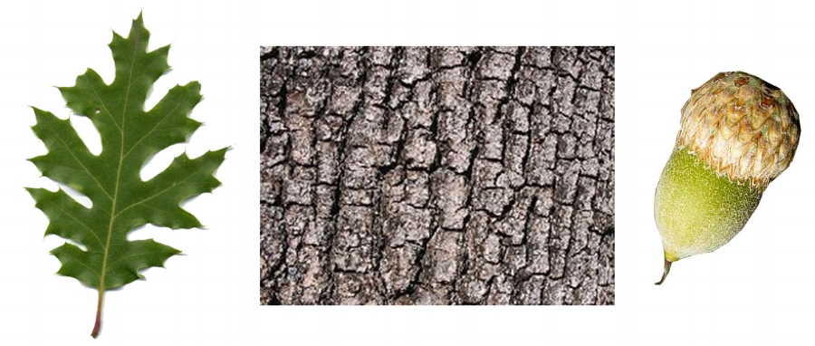 California Black Oak Leaf-Bark-Acorn.jpg