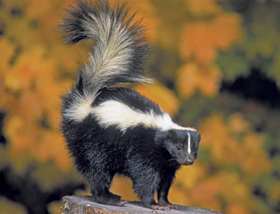 Striped Skunk - Mephitis mephitis. We have not seen one but our dog Ursula has and learned firsthand how the striped skunk defends itself.