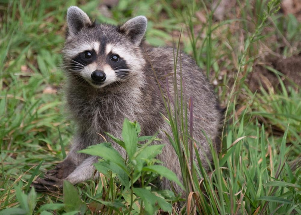 Racoon - Procyon lotor. There is a considerable amount of racoon activity at Foxtail Farm. Lots of evidence to be found around the property and on the trails.