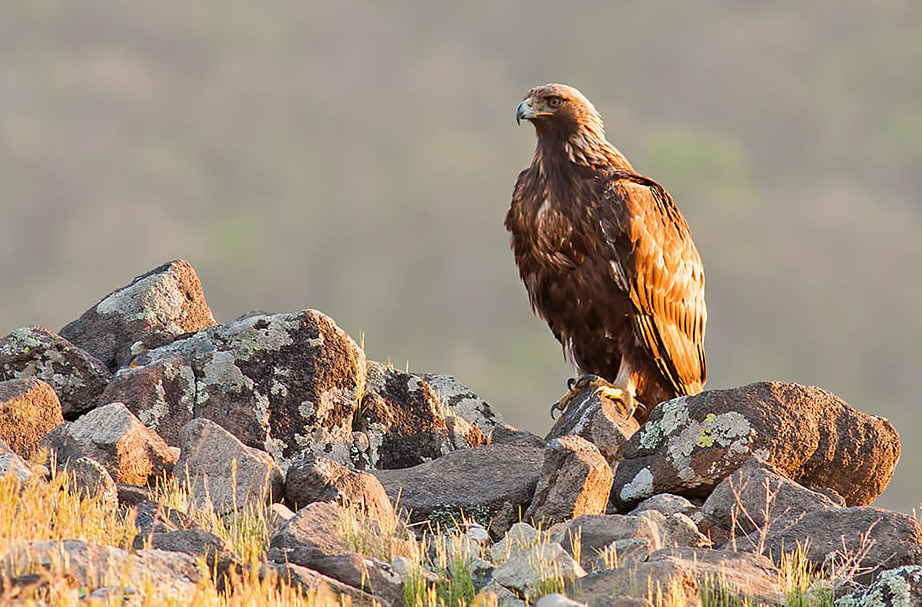 Golden Eagle - Aquila chrysaetos; Image San Diego Zoo